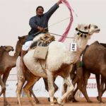 Saudijska Arabija:  Sa takmičenja diskvalifikovano 12 kamila zbog – botoksa