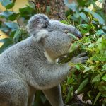 Beč pravi plantaže eukaliptusa za svoje koale