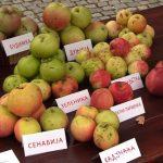 Nostalgija: Staro i zaboravljeno voće Srbije