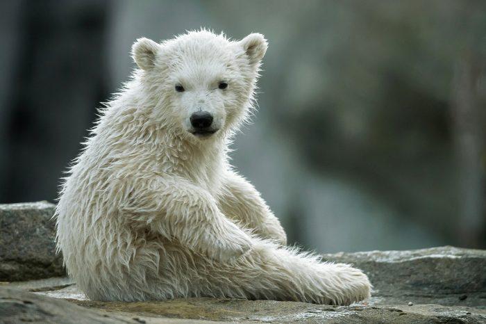 mediasfera-bec-zoo-vrt-beba-polarne-medvedice-dobila-ime-1.jpg
