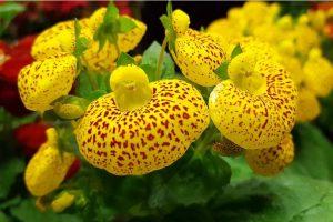 mediasfera-Gospina-papucica-orhideja-Suva-planina8-jpg