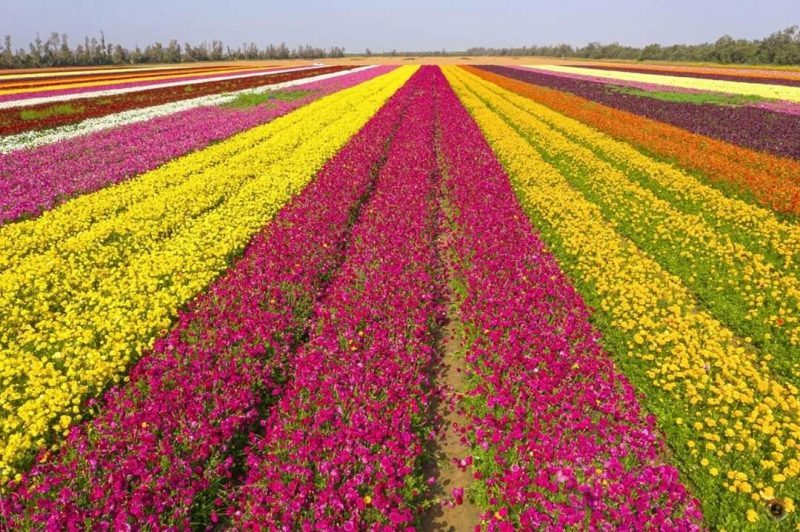 Uzgajanje-cveca-na-zemljistu-kibuca-Magen-jpg