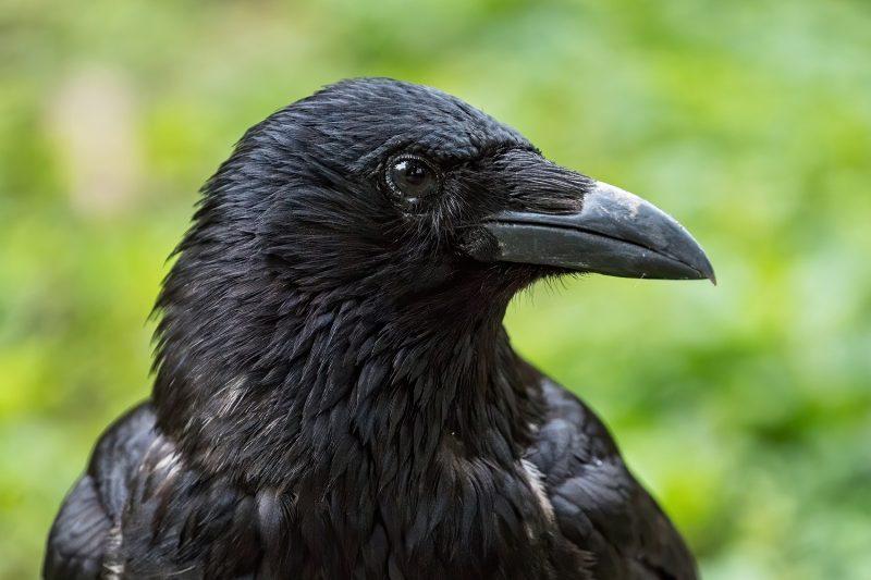 Crna vrana © Tiergarten Schönbrunn