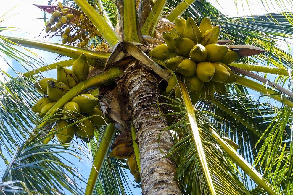 Bali-voce-kokosov-orah-palma.jpg